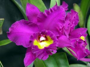 Растения из Тюмени. Краткий обзор BlcSambaSplendorCarmelax