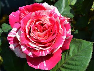 Form hoa hồng Best Impression rose