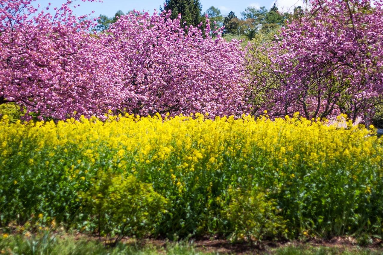 菜の花と八重桜/伊香保グリーン牧場