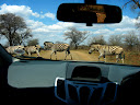 And a line of zebras crossing the road.