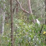 Cockatoos eating in bush (73515)