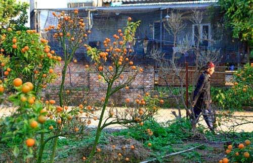 Chỉ còn hơn 2 tháng nữa là đến Tết âm lịch, người trồng quất Tứ Liên như ngồi trên đống lửa khi vườn quất chết lần lượt không rõ nguyên nhân.