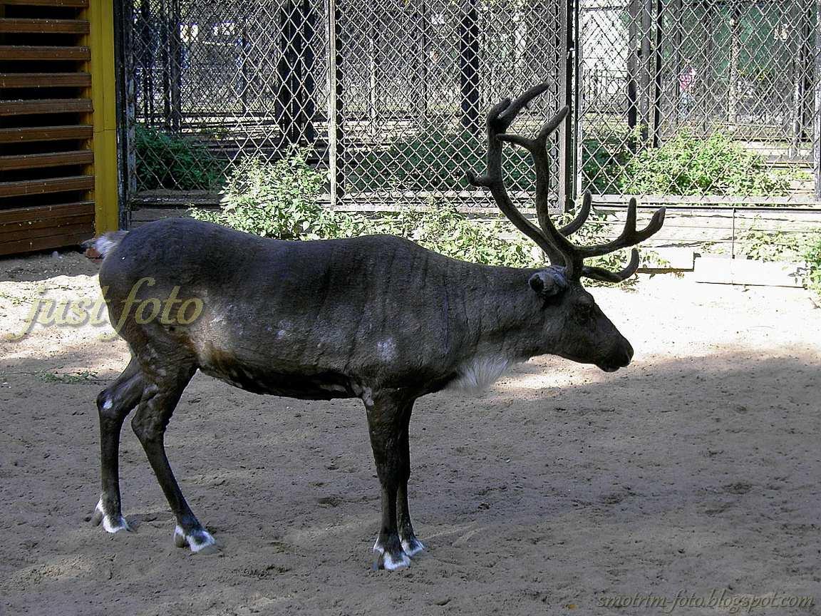 Северный олень в зоопарке Санкт-Петербурга фото