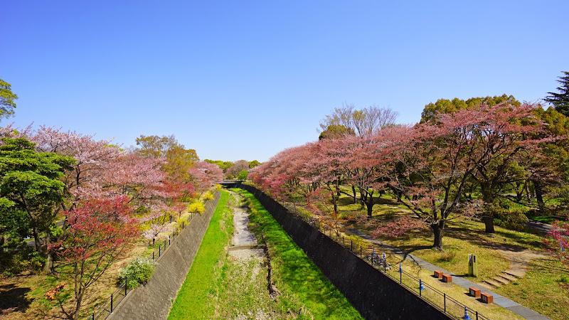 昭和記念公園 桜 写真1