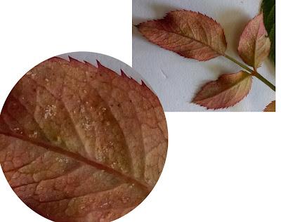 Bên dưới lá hồng non có nhiều con nhện đang di chuyển