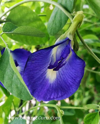 Clitoria ternatea, Blue Butterfly Pea, Asian Pigeonwings flower