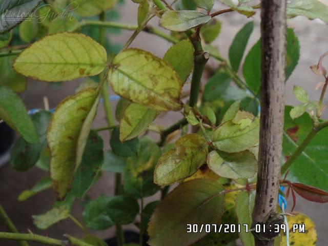 Cây hồng Miranda hơi vàng lá