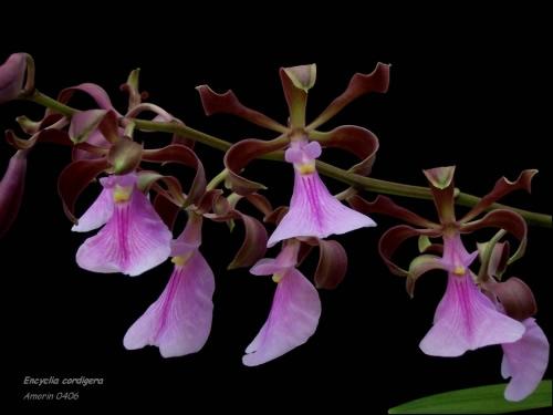 Растения из Тюмени. Краткий обзор - Страница 4 Enccordigera