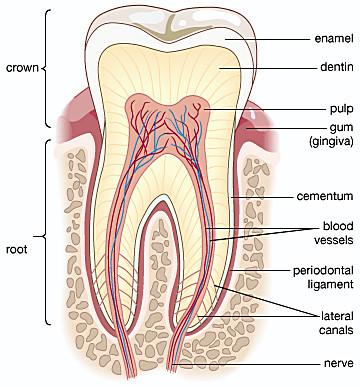 Gigi Organ Pencernaan Manusia