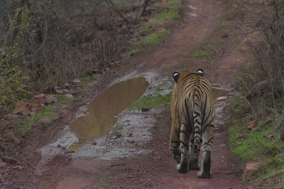 Tigre alejándose