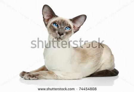 stock-photo-oriental-blue-point-siamese-cat-posing-on-a-white-background-74454808.jpg