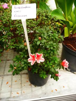 Różanecznik indyjski wdoniczce Rhododendron simsii
