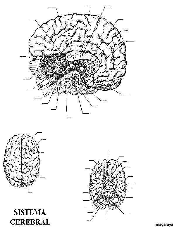 為孩子們的著色頁 Cerebro Sin Nombres Para Colorear