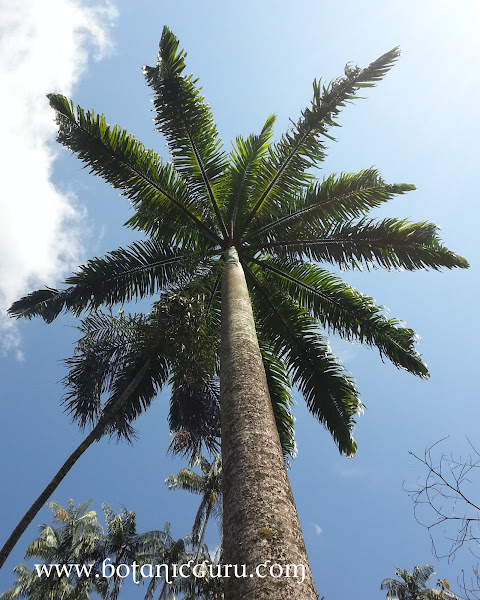 Roystonea oleracea, Caribbean Royal Palm tree