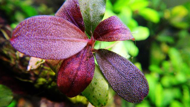 cây thủy sinh Bucephalandra Brownie metallica
