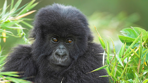 Mountain Gorilla, Volcanoes National Park, Rwanda.jpg