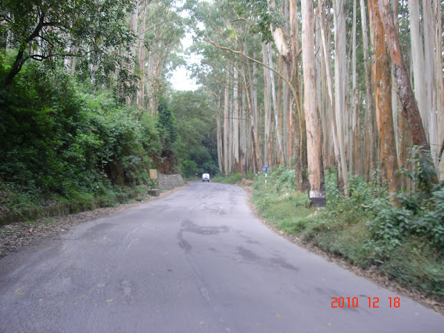 The eucalyptus plantations