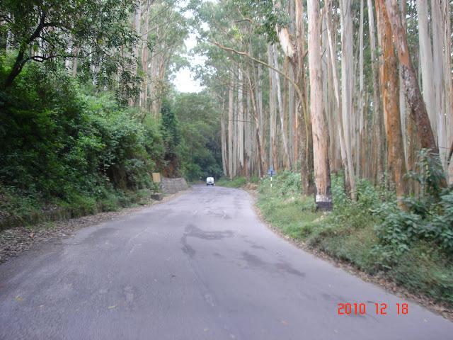 The eucalyptus plantations