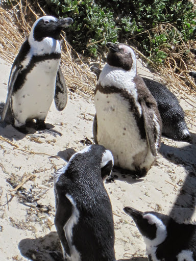 African penguins at Simonstown, Capetown, South Africa