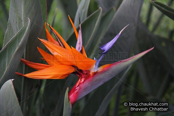 Bird of paradise flower - Crane flower - Scientific name: Strelitzia reginae - Family: Strelitziaceae