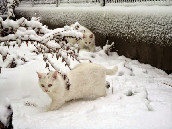 Глазастые белые кошки