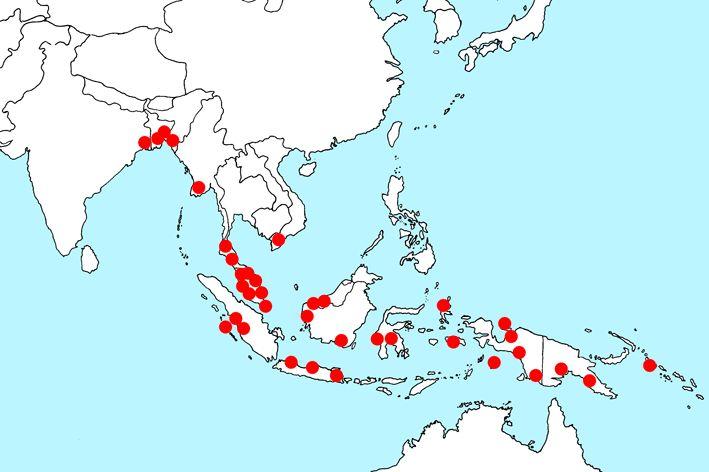 (Cryptocoryne ciliata var. latifolia)