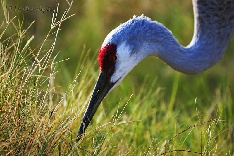 Sandhill Crane, Fossil Rim Nature Preserve, Photography, IRIS