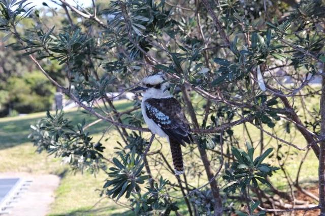 Kookaburra, Sydney