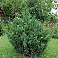 Juniperus chinensis 'Stricta Variegata' habit - Jałowiec chiński pokrój