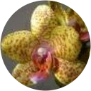 Milena Orchid