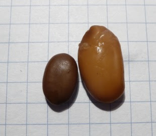 Glediczja trójciernista nasiono Gleditsia triacanthos semen
