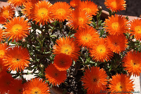Orange ice plant (Lampranthus aureus) flowers