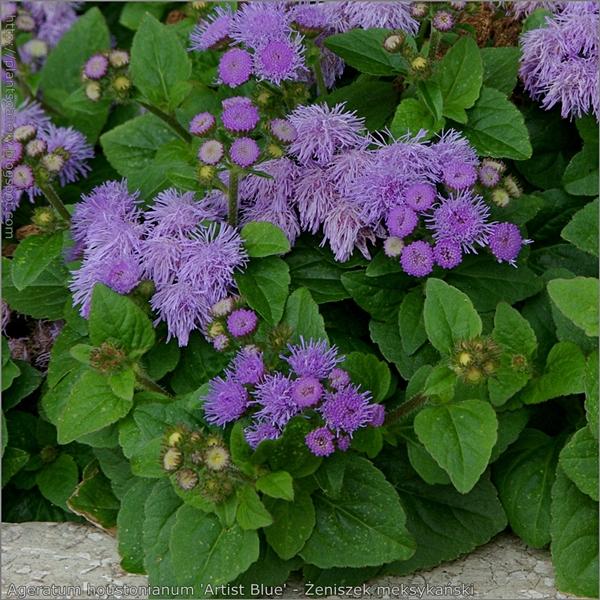 Ageratum houstonianum 'Artist Blue' - Żeniszek meksykański pąki kwiatowe, kwiaty i liście