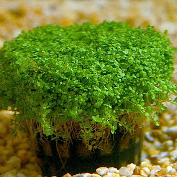 tìm hiểu các loại cây tiền cảnh trong hồ thủy sinh