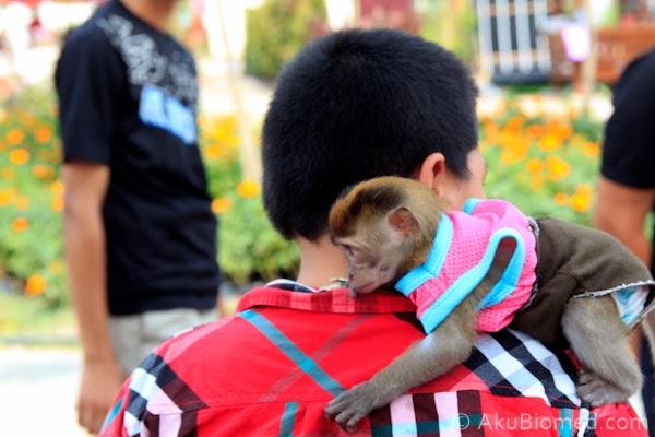 abang koning mendukung monyet