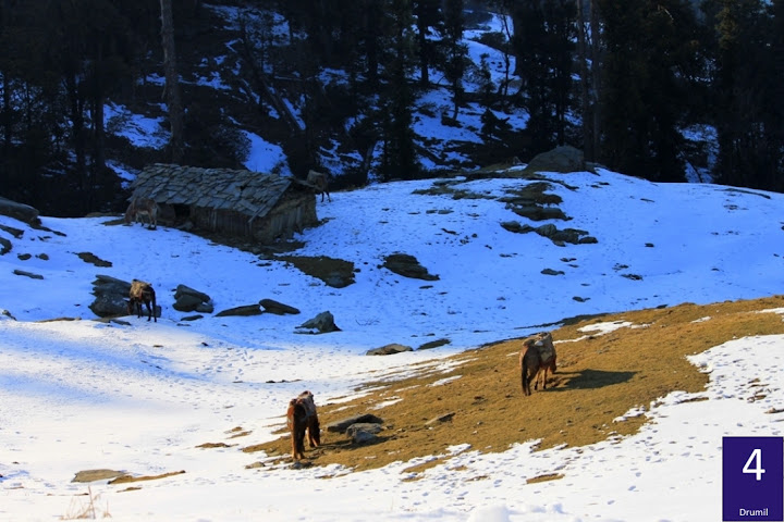 The picture of mules grazing on patches of green showcases the desolate nature of the winter trek. The abandoned hut adds to the isolation of the location. Picture by Drumil