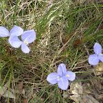 Patersonia sericea (5627)