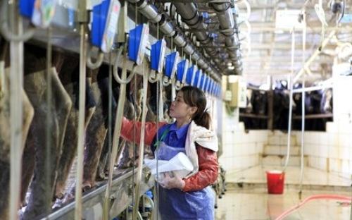 Đơn hàng vắt sữa bò cần 9 nữ làm việc tại Gunma Nhật Bản tháng 08/2017
