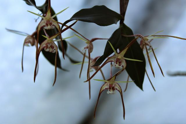 Dendrobium tetragonum IMG_0501