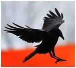 Ворон – символ мудрости, посредник между человеческой глупостью и небесной премудростью
