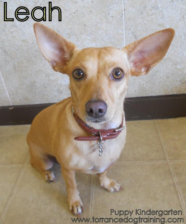 Chihuahua Mix With Dachshund Chihuahua dachshund mix
