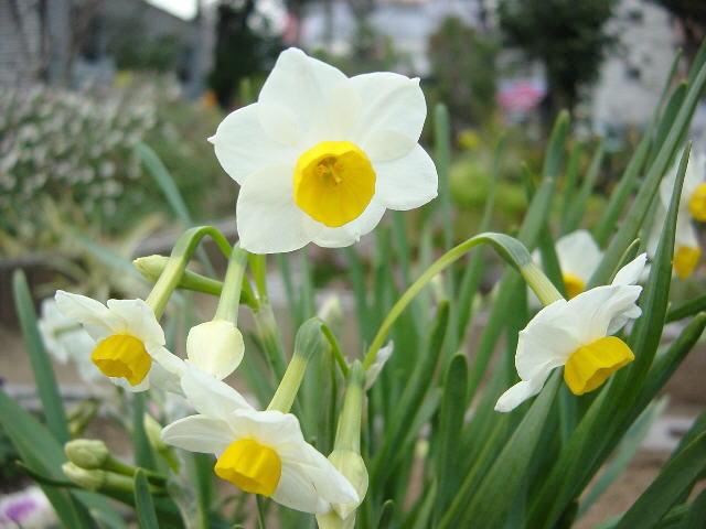 ảnh hoa thủy tiên
