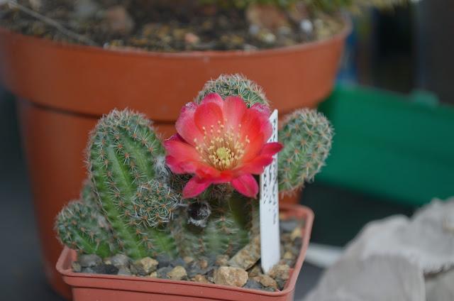 Наши кактусы - Страница 34 DSC_1129