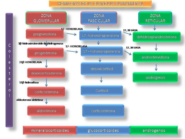 Vías enzimaticas de las hormonas de la glándula suprarrenal ...