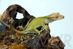 Watchy 2 - Olive Female Crested Gecko from moonvalleyreptiles.com