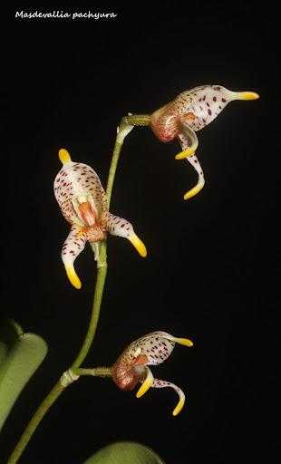 Spilotantha pachyura ( ex. Masdevallia pachyura )  IMG_0746b%2520%2528Medium%2529