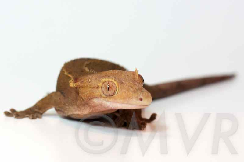 For Sale: Adult Female Crested Gecko – Pocket