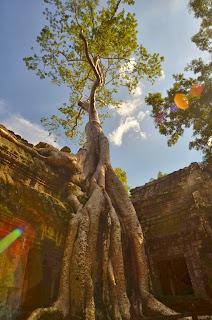 Ta Prohm - kompleks świątynny z czasów Dżajawarmana VII. Jeden z bardziej znanych w obrębie Angkor z powodu licznych drzew wbijających się w świątynie.