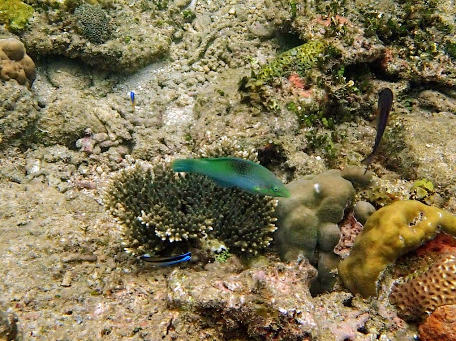 Halichoeres sp. (Unidentified Wrasse), El Nido, Palawan, Philippines.