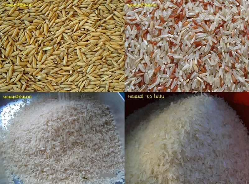 เมล็ดพันธุ์ข้าวหอมมะลิแท้ 100% จากศูนย์พันธุ์ข้าว